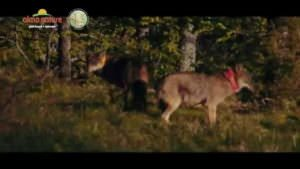 A way for wolves to regain their freedom