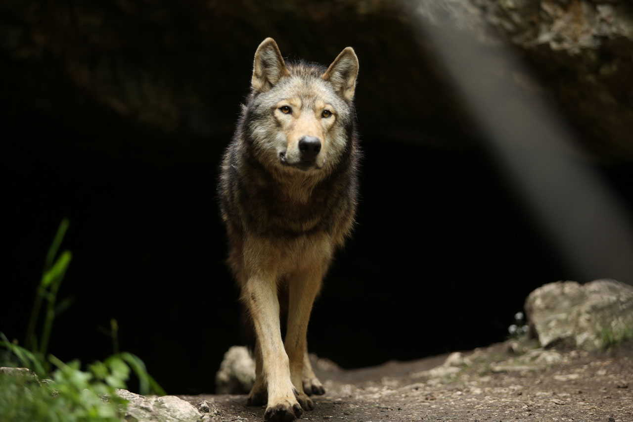 """From Just Freedom to """"The Promise"""": the wolf in the world of Almo Nature"""